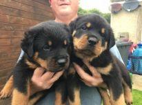 Turimi Rotveilerio šuniukai su kilmės