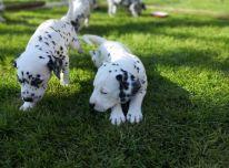 AKC Dalmatijos šuniukai