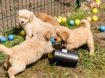 Žavingi aukso spalvos retriverių šuniukai