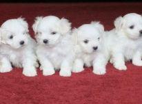 Maltos šuniukai, turintys Korėjos kilmės kilmę