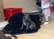 Mėlynieji Stafordšyro bulterjerų šuniukai.