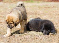 Gražūs Tibeto mastifai