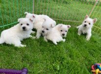 Yra žavių Vakarų Škotijos baltųjų terjerų šuniukų