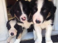 Borderkollio šuniukai