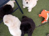 Čiau šuniukai