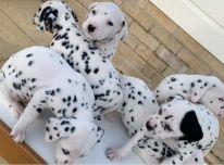 Dalmatiniai šuniukai