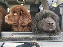Niūfaundlendo šuniukai