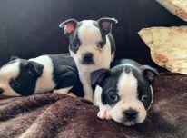 Bostono terjerų šuniukai