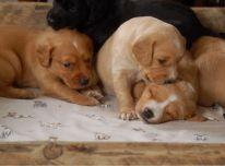 Kokerspanielio šuniukai