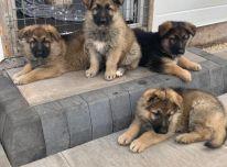 Vokiečių aviganių šuniukai