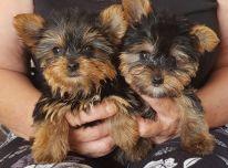 Jorkšyro terjerų šuniukai