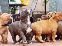 Amerikos buldogų šuniukai