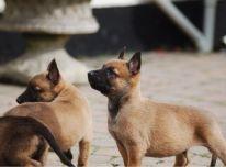 Belgiški malinois šuniukai