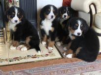 Berno kalnų šunų šuniukai