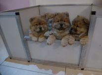 Chow Chow šuniukai