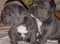 Prancūzų buldogų šuniukai
