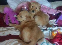 Auksinių retriverių šuniukai