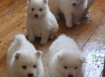 Japonijos špicų šuniukai