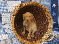 Labradoro retriverio šuniukai.