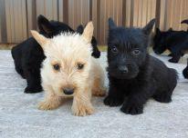 Škotų terjerų šuniukai