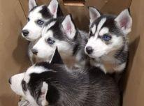 Sibiro lukšto šuniukai