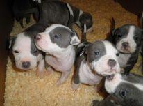 Amerikieciu stafordšyro terjero šuniukai