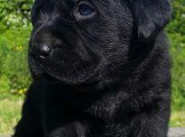 Labrador Retriever Σκύλοι και κουτάβια