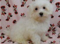Maltos šuniukai 3 namuose turi meilužį už gerą šeimą