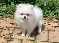 Parduodamas labai mažas baltas Pomeranijos berniukas