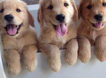 Auksaspalviu retriveriuku šuniukai