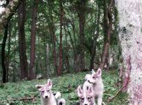 Vakarų Sibiro laikos šuniukai