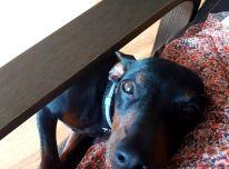 Cvergpinčerių veislės šuniukas
