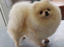 Parduodami Pomeranijos šunys ir šuniukai