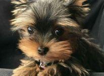 Galimi gražūs Jorkšyro terjerų šuniukai