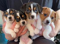 Nuostabūs šuniukai Jackas Russellas