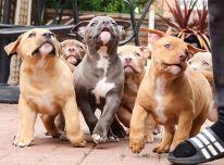 Amerikos buldogo šuniukai