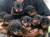 Rotveileriukai šuniukai