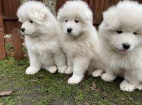 Stulbinantys samojedų šuniukai