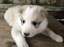 Parduodu Vakarų Sibiro laikos šuniukus