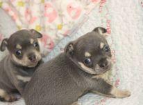 gražūs čihuahua šuniukai