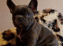 Prancūzų buldogo šuniukai