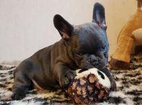 žaismingi prancūzų buldogo šuniukai