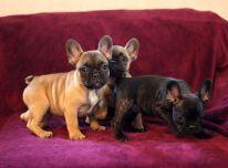 draugiški prancūzų buldogo šuniukai