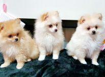 Parduodami gražūs Pomeranijos šuniukai.