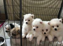 Parduodami vokiečių špicų šuniukai.