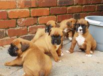 Parduodami puošnūs boksininkų šuniukai.