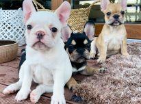 Prancūzijos buldogas Šuniukai