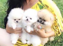 Stulbinantys Pomeranijos šuniukai