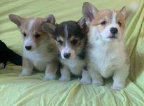 Parduodami Pembroke valų korgio šuniukai.