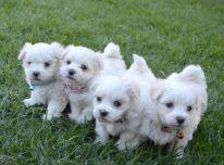 Maltiečių šuniukai